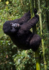 Volcanoes National Park, Northern Province, Rwanda: a baby Mountain Gorilla climbs bamboo - Gorilla beringei beringei - photo by C.Lovell