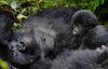 Volcanoes National Park, Northern Province, Rwanda: mother Mountain Gorilla resting with her baby - Kwitonda Group - Gorilla beringei beringei - photo by C.Lovell