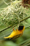 Africa - Rwanda: bird making a nest - Golden-backed Weaver - Ploceus jacksoni - photo by J.Banks