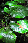 Mt Scenery trail, Saba: elephant's ears in the rainforest - Philodendron giganteum - photo by M.Torres