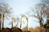 South Africa - Kruger Park: ostriches - Struthio camelus - photo by J.Stroh