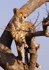 South Africa - Cheetah in tree, Singita - photo by B.Cain
