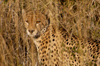 South Africa - Cheetah sitting in tall grass, Singita - photo by B.Cain