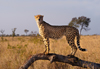 South Africa - Cheetah standing on log, Singita - photo by B.Cain
