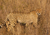 South Africa - Cheetah walking in tall grass - the fastest land animal, Singita - photo by B.Cain