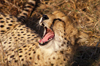 South Africa - Cheetah yawning, Singita - photo by B.Cain