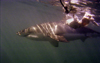 South Africa - Great white shark and chum, from cage, near Gansbaai - photo by B.Cain