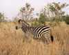 South Africa - Kruger National Park (Eastern Transvaal): lone zebra in the grassland - Equus burchelli - photo by M.Torres