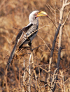 South Africa - Hornbill bird, yellow beak, Singita - photo by B.Cain