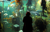South Africa - Kelp tank and person at Two Oceans Aquarium, Cape Town (photo by B.Cain)