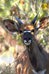 South Africa - Kudu Close-up, Singita - photo by B.Cain