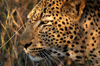 South Africa - Leopard close-up, Singita - photo by B.Cain