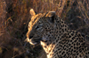 South Africa - Leopard head and shoulders, Singita - photo by B.Cain