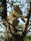 South Africa - Monkey in tree, Singita - photo by B.Cain