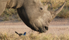 South Africa - Rhino close-up with bird - Southern White Rhinoceros - Ceratotherium simum simum, Singita - photo by B.Cain