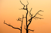 South Africa - Silhouetted tree branches at sunset, Singita - photo by B.Cain