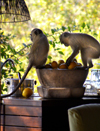 South Africa - Two monkeys raiding fruit bowl, Singita - photo by B.Cain