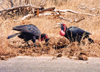South Africa - Kruger Park (Eastern Transvaal): Ground hornbills enjoy a banquet of dung - Bromvoel - family: Bucerotidae - photo by M.Torres