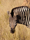 South Africa - Zebra head and shoulders, Singita - photo by B.Cain