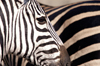 South Africa - Zebra stripes, Singita - photo by B.Cain