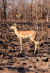 South Africa - Kruger Park (Eastern Transvaal): impala on burned ground - Aepyceros melampus - photo by M.Torres