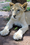 South Africa - Pilanesberg National Park: lion cub - feline - photo by K.Osborn