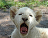 South Africa - Pilanesberg National Park: white lion - tired cub - baby lion - photo by K.Osborn