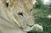 South Africa - Pilanesberg National Park: lion - cute face - photo by K.Osborn