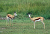 South Africa - Pilanesberg National Park: two Springbok - photo by R.Eime