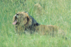South Africa - Pilanesberg National Park: male lion yawning in the long grass - photo by R.Eime