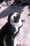 South Africa - Cape Town: Jackass Penguin - Shelley Beach - photo by R.Eime