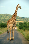South Africa - Pilanesberg National Park: a giraffe strolls down an access road - photo by R.Eime