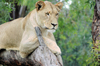 South Africa - Pilanesberg National Park: lioness resting on a tree - photo by K.Osborn