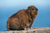 South Africa - Cape Town: a Dassie - Procavia capensis - a furry rodent that lives on Table Mountain (photo by R.Eime)