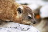 South Africa - Cape Town: Cape Town: a Dassie or hyrax  - Procavia capensis - close-up (photo by J.Stroh)