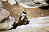South Africa - Betties Bay: penguins - Garden Route - photo by J.Stroh