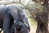 South Africa - Kruger Park: African elephant - mother and baby - photo by J.Stroh