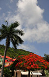 Gustavia, St. Barts / Saint-Barth�lemy: flamboyant acacia and palm tree - Rue du Bord de Mer - photo by M.Torres