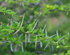 Gustavia, St. Barts / Saint-Barth�lemy: thorns of an acacia - photo by M.Torres