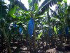 St Lucia: banana plantation (photo by Robert Ziff)