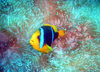Samoa - Sava'i: clownfish and sea anemone - underwater image - photo by R.Eime