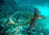 Samoa - Fagamalo, Savai'i: critically endangered Hawksbill Turtle - Eretmochelys imbricata - photo by R.Eime
