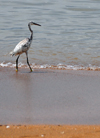 São Tomé, São Tomé and Príncipe / STP: spotted heron on the beach - aquatic bird / garça na praia - photo by M.Torres
