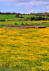 Isili, Cagliari province, Sardinia / Sardegna / Sardigna: stone structure on a field of yellow wild flowers - Sarcidano sub-region - photo by M.Torres
