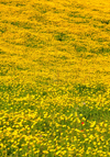 Isili, Cagliari province, Sardinia / Sardegna / Sardigna: field of yellow wild flowers - Sarcidano sub-region - photo by M.Torres