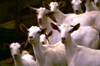 Saudi Arabia - Asir province: white goats posing for the photographer - photo by F.Rigaud