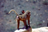 Saudi Arabia - Asir province: Hamadryas baboon with baby - photo by F.Rigaud