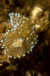 St. Abbs, Berwickshire, Scottish Borders Council, Scotland: Crystal tips nudibranch - Janolus cristatus - photo by D.Stephens