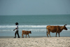 Cap Skirring, Oussouye, Basse Casamance (Ziguinchor), Senegal: Cow and calf walking on the beach, everyday life / Vacas a caminhar na praia, vida quotidiana - photo by R.V.Lopes