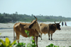 Cap Skirring, Oussouye, Basse Casamance (Ziguinchor), Senegal: Cows roaming the beach / Vacas a pairar pela praia - photo by R.V.Lopes